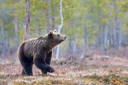 Wild brown bear walking in the taiga in late winter Imagens