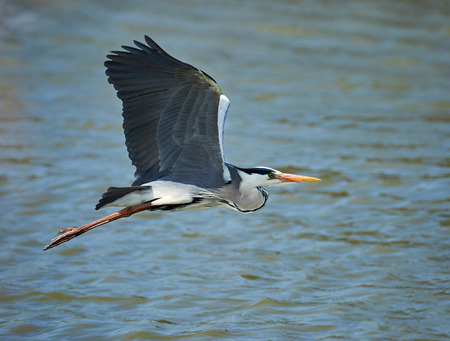Beautiful gray heron flying over a lake