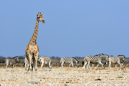 キリンとナミビアの熱いサバンナのシマウマの群れ