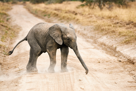 Baby elephant crossing a dirt track in a park in Tanzania