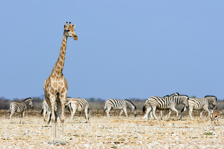 Giraffe and zebra in the dry savannah of Namibia are approaching a waterhole to drink