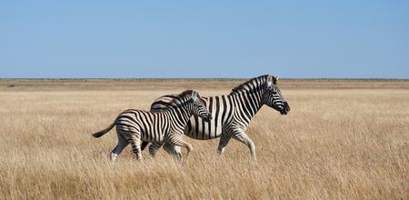 Two zebras, walking in African savannah, Namibia
