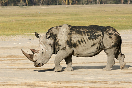 White rhinoceros is the largest species of rhinoceros, is severely threatened of extinction