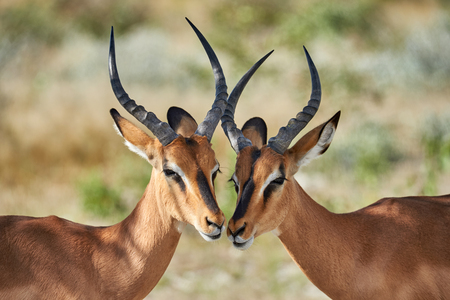 Two male black faced impala photographed in Namibia Stok Fotoğraf