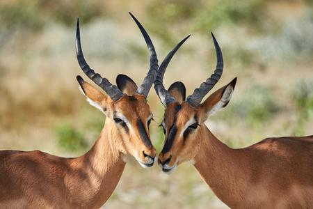 Zwei männliche schwarzgesichtige Impala in Namibia fotografiert Standard-Bild - 82817268