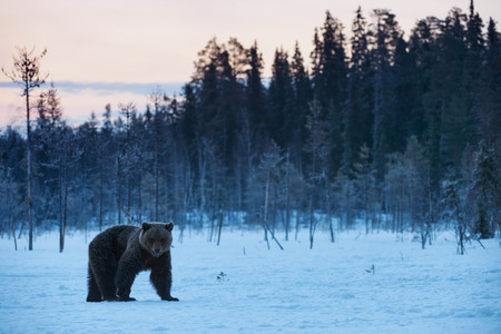winter finland: Beautiful brown bear walking in the snow in winter. Photographed at sunset in Finland.
