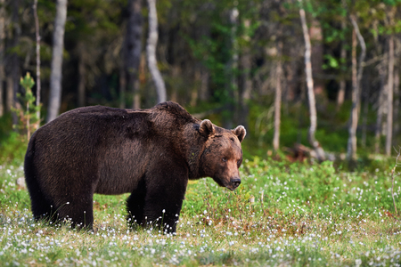 Big male brown bear walking in the finnish taiga Stock Photo