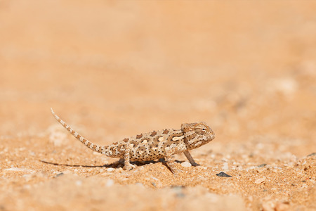 Little Namaqua Chameleon in Dorob National Park Stock Photo