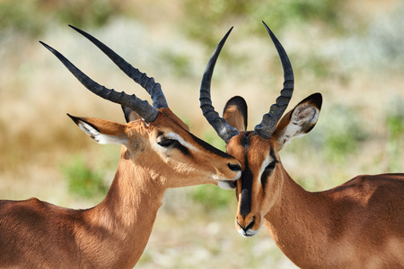 two faced: Two male black faced impala photographed in Namibia Stock Photo