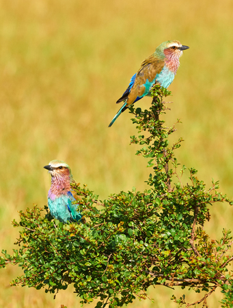 Two Lilac breasted roller perched on a green  bush
