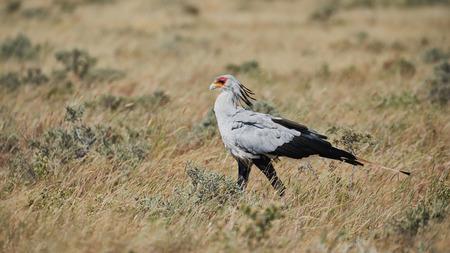 Sekretärvogel, Schütze serpendarius, ein großer afrikanischer Raubvogel, der in namibian Savanne geht.