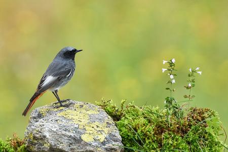 Black redstart (Phoenicurus ochruros) is a litttle and  beautiful bird of the family of Muscicapidae