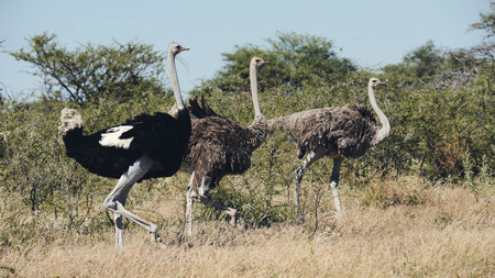 Three ostriches, a male and two females, walking in the african bush, matte style. Reklamní fotografie