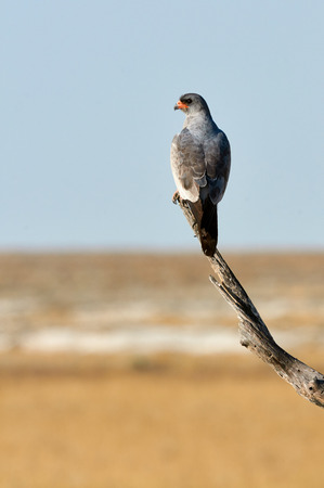 Pale Chanting Goshawk on a tree in Namibia looks around for prey