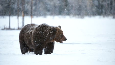 Big brown bear photographed in early spring while walking in snow in the Finnish taiga