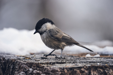 beautiful willow tit photographed in winter, matte style.