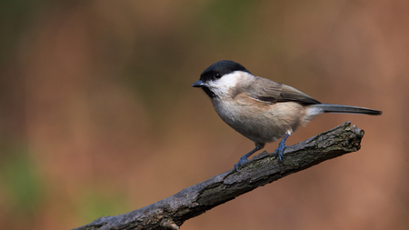 Beautiful Marsh Tit (Poecile palustris) resting on a withered branch