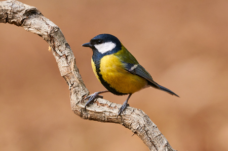 Colorful great tit (Parus major)perched on a tree trunk, photographed in horizontal