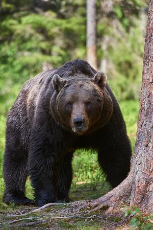 Big male brown bear walking in the finnish taiga Stock Photo
