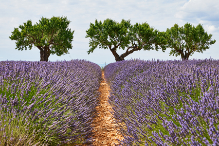 Provence landscape photographed vertically, with lavender, trees and a beautiful sky with white clouds.