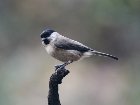 Beautiful Marsh Tit resting on a withered branch (matte style)