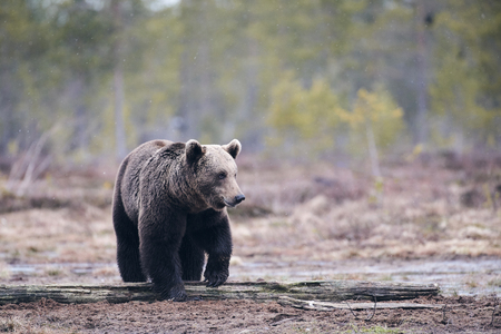 Wild brown bear (Ursus arctos) walking in the taiga in ealy spring, matte style