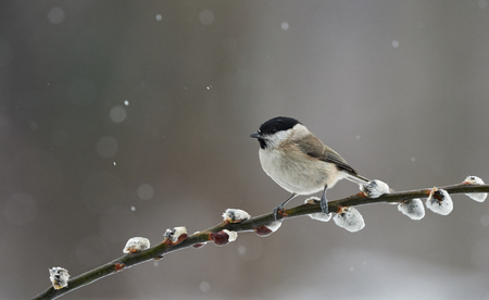 Beautiful Marsh Tit photographed in winter while it's snowing, resting on a branch.