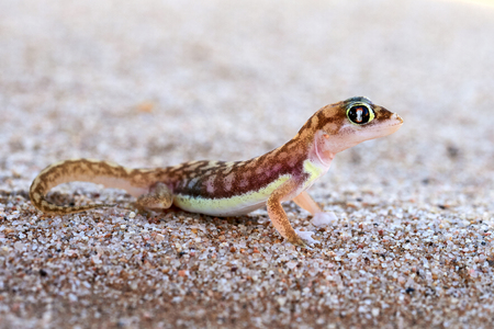 The Namib sand gecko or web-footed gecko (Pachydactylus rangei) photographed in the Dorob National Park, Namibia