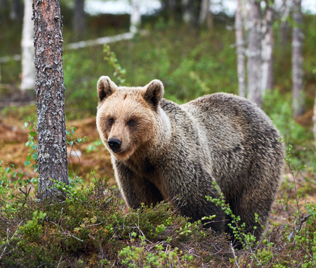 Brown bear looks around in the taiga from Finland Stock Photo