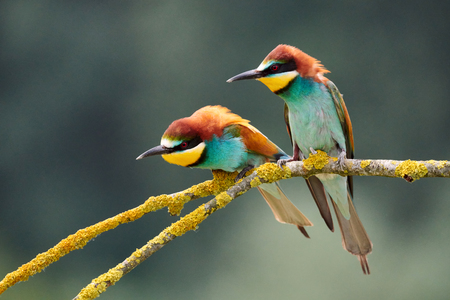 Two colorful European bee-eaters (Merops apiaster) perched on a small branch.