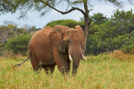 African elephant (Loxodonta africana) walks alone in the grassy savannah of Tanzania.
