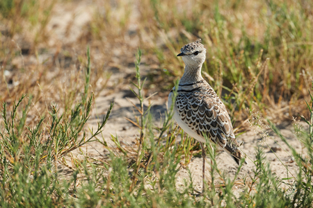 Double-banded courser (Rhinoptilus africanus), also known as the two-banded courser is an african bird Stock Photo