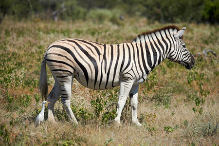 In Namibia, a zebra grazes in the grass of the savannah and a cattle egret follows it.