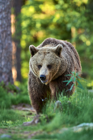 Wild brown bear walking in a finnish forest. Stock Photo