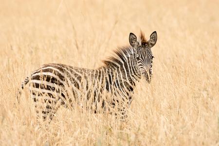 Young zebra standing in the tall grass of african savannah.