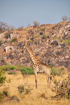 Giraffe (Giraffa camelopardalis) standing in the African savannah, looks around. Stock Photo