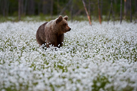 Young brown bear (Ursus arctos) photographed In the Finnish taiga as he walks among the cotton grasses in search of food. Archivio Fotografico