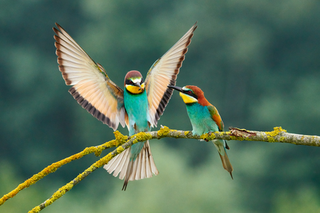 Beautiful European bee-eater couple (Merops apiaster). The male brings as a gift an insect to the female during courtship.