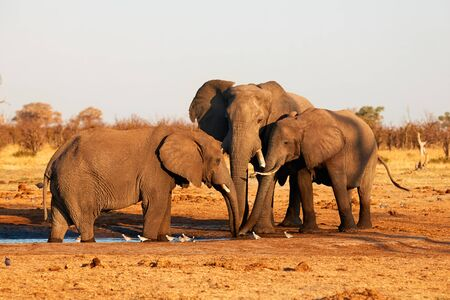 Three large Elephants quench their thirst at a waterhole in a Btswana park.