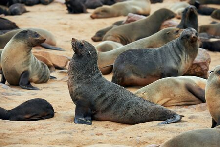 Great colony of seals fur at Cape cross in Namibia Imagens