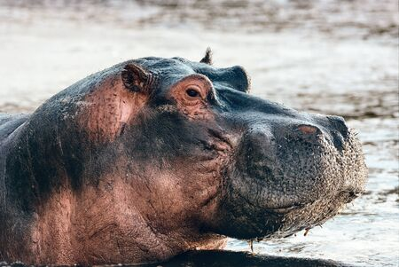 Hippopotamus (Hippopotamus amphibius) photographed at close range in an African river as it lifts its head out of the water.