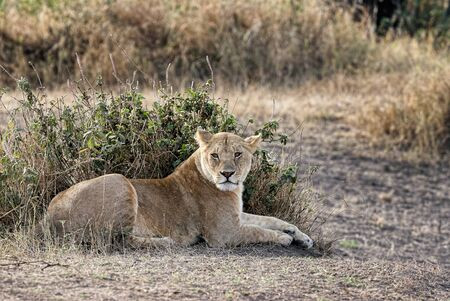 Beautiful lioness in the wild, the African savannah.