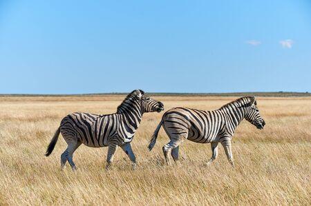 Wild zebras walk free in the arid savanna of Namibia