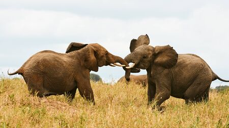 Two african elephant (Loxodonta africana) fighting in the african savannah.