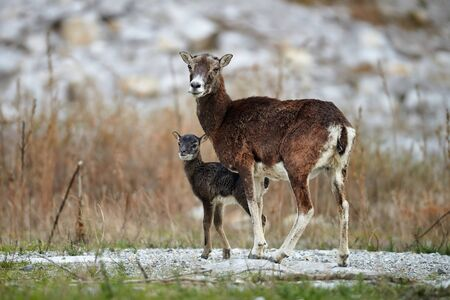 Female of mouflon, Ovis musimon, and her cub, look around for fear of predators.