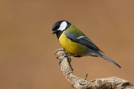 Colorful great tit (Parus major)perched on a tree trunk, photographed in horizontal Фото со стока