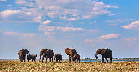 Elephants herd (Loxodonta africana), with blue sky and white clouds in Chobe national park, Botswana.
