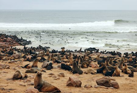 The great colony of seals fur at Cape cross in Namibia