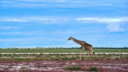 Lonely giraffe (Giraffa camelopardalis) in the savannah of a park in Namibia. 写真素材