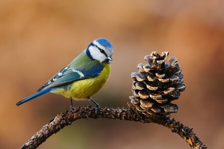 Beautiful blue tit (Cyanistes caeruleus) photographed in autumn on a small branch with a pine cone and a brown background.